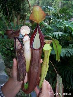 3 Pahang. Near Tanah Rata. Gunung Jasar. Pitcher plants (Nepenthes sp.) (1)