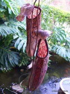 3 Pahang. Near Tanah Rata. Gunung Jasar. Pitcher plants (Nepenthes sp.) (2)