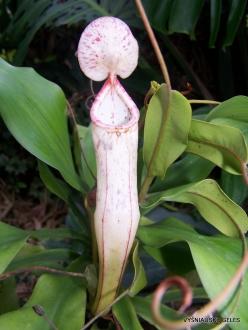 3 Pahang. Near Tanah Rata. Gunung Jasar. Pitcher plants (Nepenthes sp.) (6)