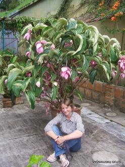 Pahang. Brinchang. Sam Poh Temple. Showy Medinilla (Medinilla magnifica)