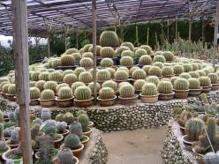 Pahang. Near Brinchang. Cactus Point (3)