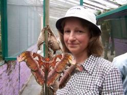 Pahang. Near Tanah Rata. Cameron Highland Butterfly Farm. Atlas moth (Attacus atlas)