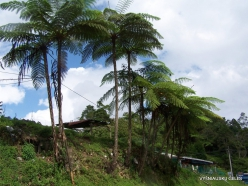 Pahang. Tanah Rata. Tree ferns (2)