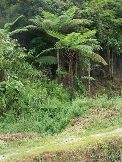 Pahang. Tanah Rata. Tree ferns