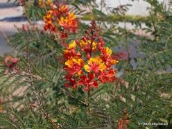 1 Las Vegasas. Cezalpinija (Caesalpinia pulcherrima)