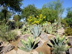 1 Las Vegasas. Ethel M kaktusų parkas. Amerikinė agava (Agava americana)