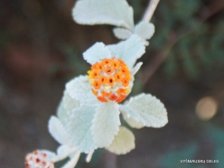 1 Las Vegasas. Ethel M kaktusų parkas. Buddleia marubifolia (2)