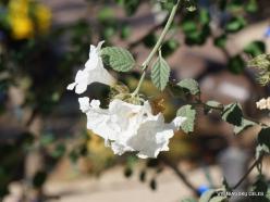 1 Las Vegasas. Ethel M kaktusų parkas. Cordia parviflora