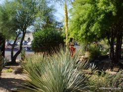 1 Las Vegasas. Ethel M kaktusų parkas. Dasylirion wheeleri
