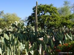 1 Las Vegasas. Ethel M kaktusų parkas. Didžioji karnegija (Carnegiea gigantea)