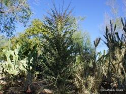 1 Las Vegasas. Ethel M kaktusų parkas. Gairuvas (Fouquieria columnaris) (2)
