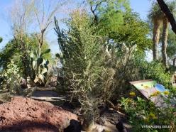 1 Las Vegasas. Ethel M kaktusų parkas. Gairuvas (Fouquieria columnaris)