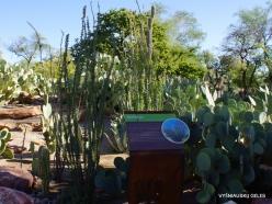 1 Las Vegasas. Ethel M kaktusų parkas. Gairuvas (Fouquieria splendens)