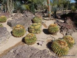 1 Las Vegasas. Ethel M kaktusų parkas. Geltondyglis ežiakaktusis ( Echinocactus grusonii)