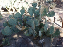 1 Las Vegasas. Ethel M kaktusų parkas. Kalninė opuncija (Opuntia phaeacantha var.mohavensis)