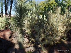 1 Las Vegasas. Ethel M kaktusų parkas. Lazduvis (Cylindropuntia molesta) (2)