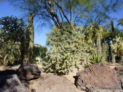 1 Las Vegasas. Ethel M kaktusų parkas. Lazduvis (Cylindropuntia molesta) (3)