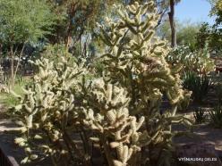 1 Las Vegasas. Ethel M kaktusų parkas. Lazduvis (Cylindropuntia versicolor)