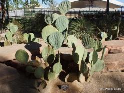 1 Las Vegasas. Ethel M kaktusų parkas. Opuntia erinacea var.hystricina
