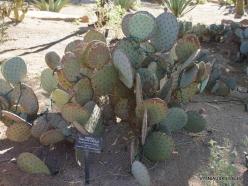 1 Las Vegasas. Ethel M kaktusų parkas. Opuntia santa-rita