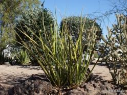 1 Las Vegasas. Ethel M kaktusų parkas. Pluoštinis agavėtis (Hesperaloe funifera)