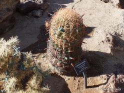 1 Las Vegasas. Ethel M kaktusų parkas. Ritininis ferokaktusas (Ferocactus cylindraceus)
