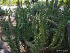 1 Las Vegasas. Ethel M kaktusų parkas. Ritvė (Austrocylindropuntia subulata) (2)