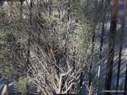1 Las Vegasas. Ethel M kaktusų parkas. Senna phyllodinea
