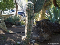 1 Las Vegasas. Ethel M kaktusų parkas. Stulpenis (Oreocereus celsianus)