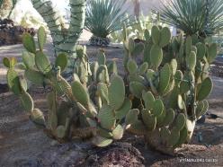 1 Las Vegasas. Ethel M kaktusų parkas. Trumpašerė opuncija (Opuntia microdasys) (2)
