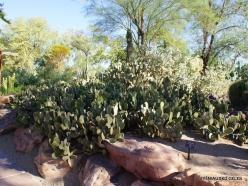 1 Las Vegasas. Ethel M kaktusų parkas. Trumpašerė opuncija (Opuntia microdasys) (3)