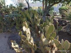 1 Las Vegasas. Ethel M kaktusų parkas. Trumpašerė opuncija (Opuntia microdasys)