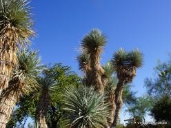 1 Las Vegasas. Ethel M kaktusų parkas. Yucca rigida (2)