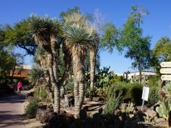 1 Las Vegasas. Ethel M kaktusų parkas. Yucca rigida