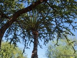 1 Las Vegasas. Ethel M kaktusų parkas. Yucca schidigera (2)