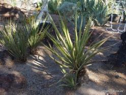 1 Las Vegasas. Ethel M kaktusų parkas. Yucca schidigera