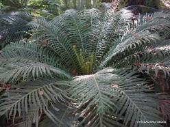 Los Andželas. Descanso botanikos sodas. Cikainiai (Cycadopsida) (2)