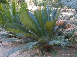 Los Andželas. Descanso botanikos sodas. Cikainiai (Cycadopsida). Cycas taitungensis