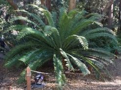 Los Andželas. Descanso botanikos sodas. Cikainiai (Cycadopsida). Encephalartos altensteinii