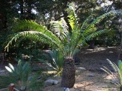 Los Andželas. Descanso botanikos sodas. Cikainiai (Cycadopsida). Encephalartos gratus