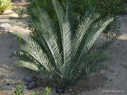 Los Andželas. Descanso botanikos sodas. Cikainiai (Cycadopsida). Encephalartos lehmanii