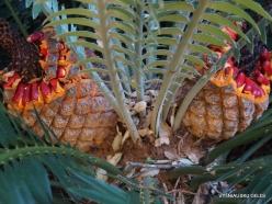 Los Andželas. Descanso botanikos sodas. Cikainiai (Cycadopsida). Encephalartos natalensis