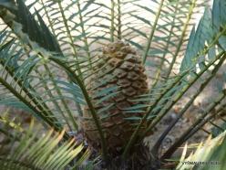 Los Andželas. Descanso botanikos sodas. Cikainiai (Cycadopsida). Encephalartos senticosus