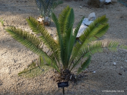 Los Andželas. Descanso botanikos sodas. Cikainiai (Cycadopsida).