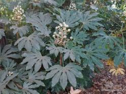 Los Andželas. Descanso botanikos sodas. Japoninė fatsija (Fatsia japonica)