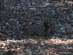 Los Andželas. Descanso botanikos sodas. Juodoji voverė (Sciurus niger)