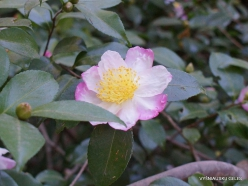 Los Andželas. Descanso botanikos sodas. Kamelija (1)