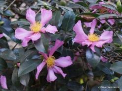 Los Andželas. Descanso botanikos sodas. Kamelija (2)