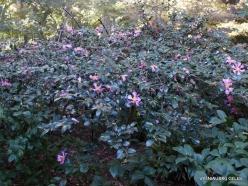 Los Andželas. Descanso botanikos sodas. Kamelija (3)