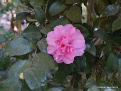 Los Andželas. Descanso botanikos sodas. Kamelija (4)